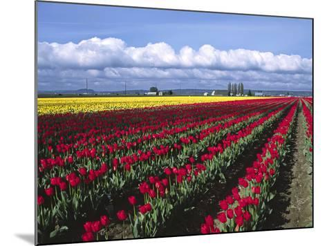 A Field of Tulips with Stormy Skies, Skagit Valley, Washington, Usa-Charles Sleicher-Mounted Photographic Print