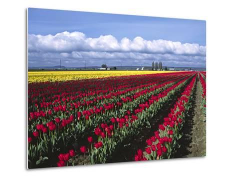 A Field of Tulips with Stormy Skies, Skagit Valley, Washington, Usa-Charles Sleicher-Metal Print