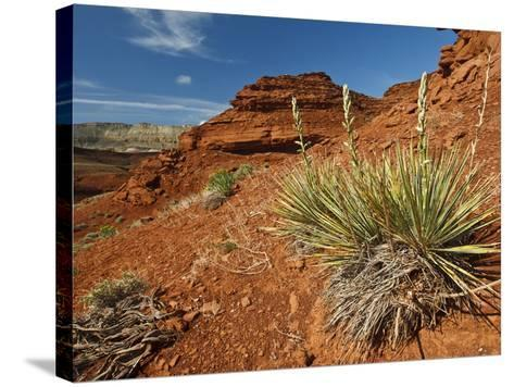 Yucca on Red Soil in Canyon Lands on Northern Wyoming, Usa-Larry Ditto-Stretched Canvas Print