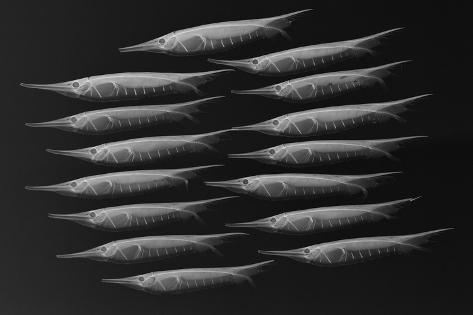 Grooved Razorfish-Sandra J^ Raredon-Stretched Canvas Print