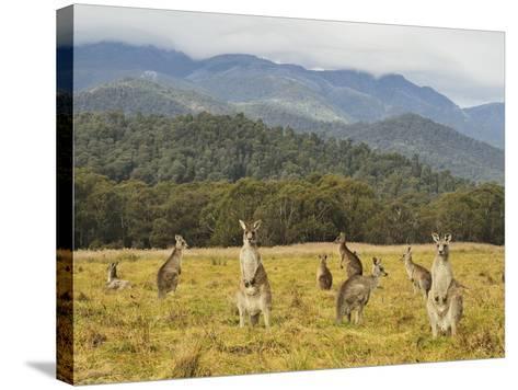 Eastern Grey Kangaroos, Geehi, Kosciuszko National Park, New South Wales, Australia, Pacific-Jochen Schlenker-Stretched Canvas Print
