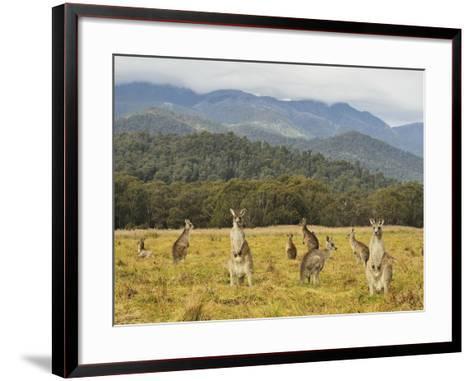 Eastern Grey Kangaroos, Geehi, Kosciuszko National Park, New South Wales, Australia, Pacific-Jochen Schlenker-Framed Art Print