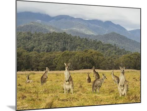 Eastern Grey Kangaroos, Geehi, Kosciuszko National Park, New South Wales, Australia, Pacific-Jochen Schlenker-Mounted Photographic Print