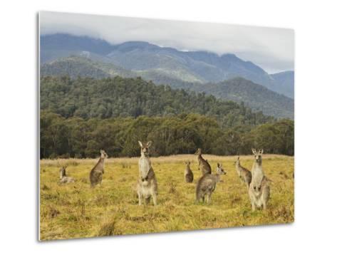 Eastern Grey Kangaroos, Geehi, Kosciuszko National Park, New South Wales, Australia, Pacific-Jochen Schlenker-Metal Print
