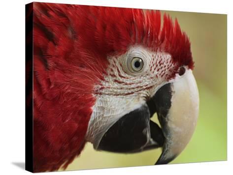 Portrait of Macaw, Lok Kawi Wildlife Park, Sabah, Borneo, Malaysia,Southeast Asia, Asia-Jochen Schlenker-Stretched Canvas Print