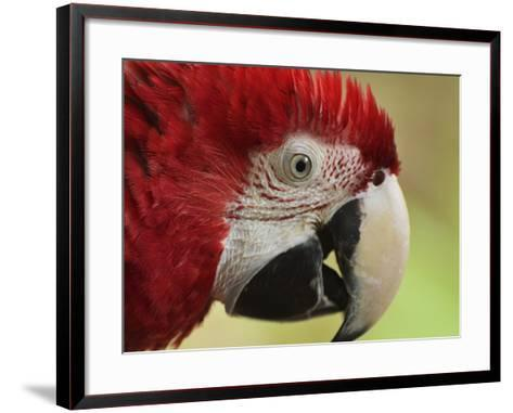 Portrait of Macaw, Lok Kawi Wildlife Park, Sabah, Borneo, Malaysia,Southeast Asia, Asia-Jochen Schlenker-Framed Art Print