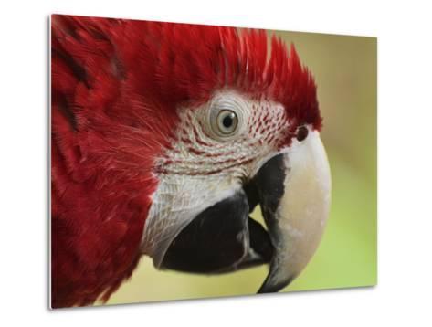 Portrait of Macaw, Lok Kawi Wildlife Park, Sabah, Borneo, Malaysia,Southeast Asia, Asia-Jochen Schlenker-Metal Print