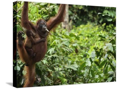 Orangutan (Pongo Borneo), Sabah, Borneo, Malaysia, Southeast Asia, Asia-Jochen Schlenker-Stretched Canvas Print