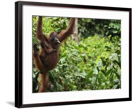 Orangutan (Pongo Borneo), Sabah, Borneo, Malaysia, Southeast Asia, Asia-Jochen Schlenker-Framed Art Print