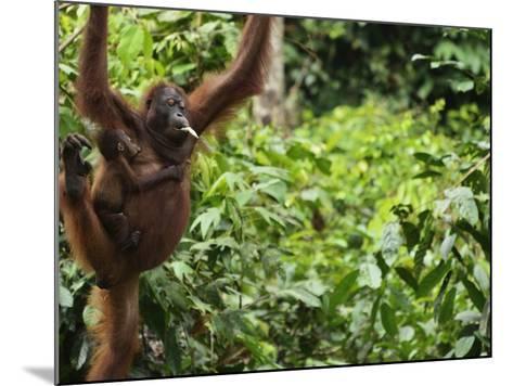 Orangutan (Pongo Borneo), Sabah, Borneo, Malaysia, Southeast Asia, Asia-Jochen Schlenker-Mounted Photographic Print