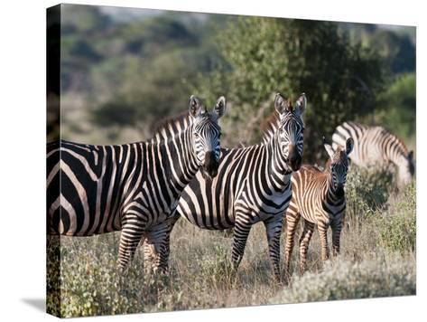 Grant's Zebra (Equus Quagga Boehmi), Lualenyi Game Reserve, Kenya, East Africa, Africa-Sergio Pitamitz-Stretched Canvas Print