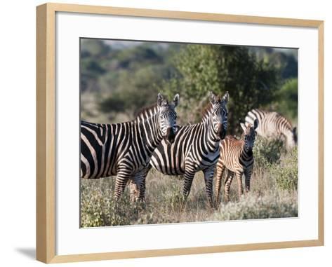 Grant's Zebra (Equus Quagga Boehmi), Lualenyi Game Reserve, Kenya, East Africa, Africa-Sergio Pitamitz-Framed Art Print