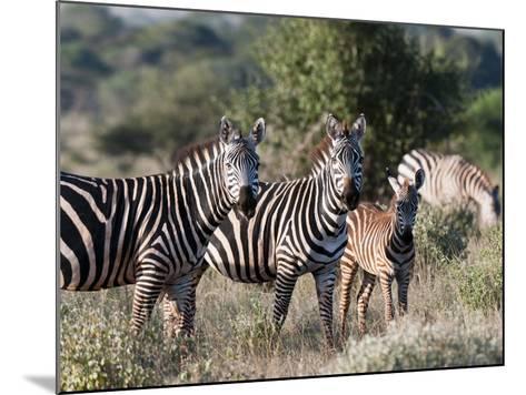 Grant's Zebra (Equus Quagga Boehmi), Lualenyi Game Reserve, Kenya, East Africa, Africa-Sergio Pitamitz-Mounted Photographic Print