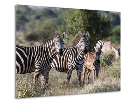 Grant's Zebra (Equus Quagga Boehmi), Lualenyi Game Reserve, Kenya, East Africa, Africa-Sergio Pitamitz-Metal Print