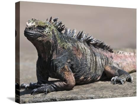 Marine Iguana, Port Egas (James Bay) Isla Santiago (Santiago Island), Galapagos Islands-Michael DeFreitas-Stretched Canvas Print