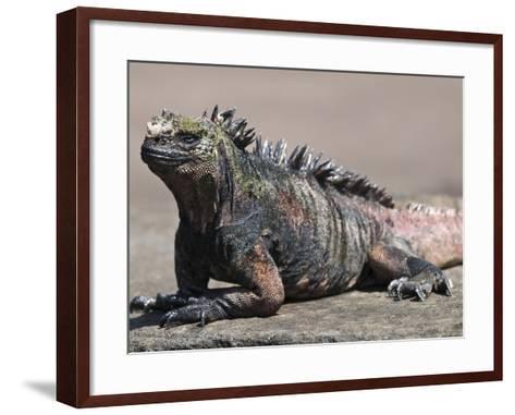 Marine Iguana, Port Egas (James Bay) Isla Santiago (Santiago Island), Galapagos Islands-Michael DeFreitas-Framed Art Print
