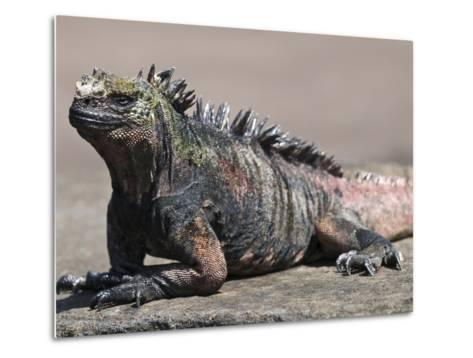 Marine Iguana, Port Egas (James Bay) Isla Santiago (Santiago Island), Galapagos Islands-Michael DeFreitas-Metal Print