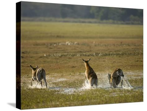 Red Lechwe (Kobus Leche), Busanga Plains, Kafue National Park, Zambia, Africa-Sergio Pitamitz-Stretched Canvas Print