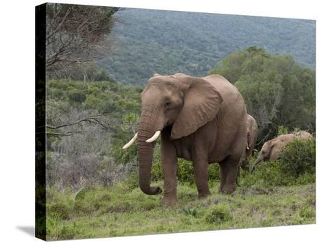 Elephant (Loxodonta Africana), Kariega Game Reserve, South Africa, Africa-Sergio Pitamitz-Stretched Canvas Print