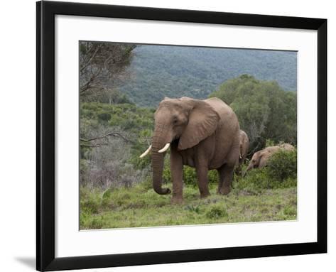 Elephant (Loxodonta Africana), Kariega Game Reserve, South Africa, Africa-Sergio Pitamitz-Framed Art Print
