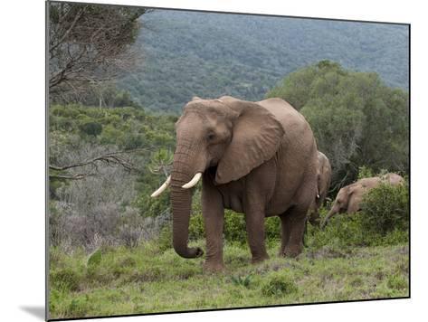 Elephant (Loxodonta Africana), Kariega Game Reserve, South Africa, Africa-Sergio Pitamitz-Mounted Photographic Print