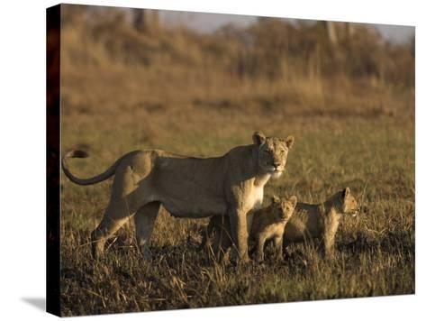 Lioness and Cubs, Busanga Plains, Kafue National Park, Zambia, Africa-Sergio Pitamitz-Stretched Canvas Print