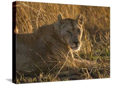 Lioness, Busanga Plains, Kafue National Park, Zambia, Africa-Sergio Pitamitz-Stretched Canvas Print