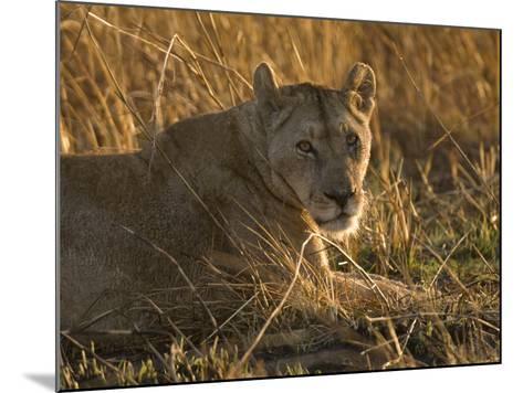 Lioness, Busanga Plains, Kafue National Park, Zambia, Africa-Sergio Pitamitz-Mounted Photographic Print