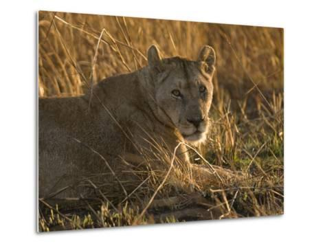 Lioness, Busanga Plains, Kafue National Park, Zambia, Africa-Sergio Pitamitz-Metal Print