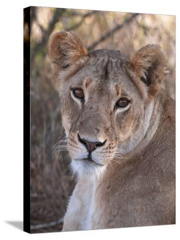 Lioness (Panthera Leo), Loisaba Wilderness Conservancy, Laikipia, Kenya, East Africa, Africa-Sergio Pitamitz-Stretched Canvas Print