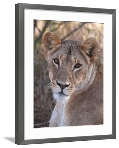 Lioness (Panthera Leo), Loisaba Wilderness Conservancy, Laikipia, Kenya, East Africa, Africa-Sergio Pitamitz-Framed Art Print