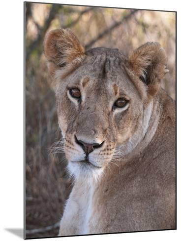 Lioness (Panthera Leo), Loisaba Wilderness Conservancy, Laikipia, Kenya, East Africa, Africa-Sergio Pitamitz-Mounted Photographic Print