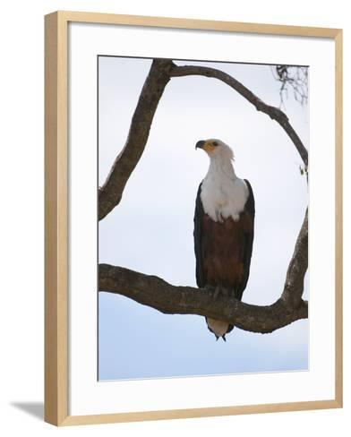 African Fish Eagle (Haliaeetus Vocifer), Masai Mara, Kenya, East Africa, Africa-Sergio Pitamitz-Framed Art Print
