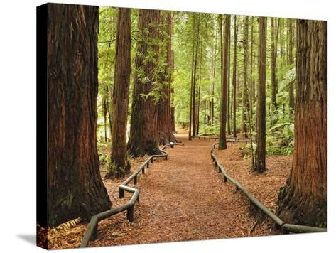 Walkway, the Redwoods, Rotorua, Bay of Plenty, North Island, New Zealand, Pacific-Jochen Schlenker-Stretched Canvas Print