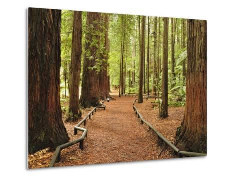 Walkway, the Redwoods, Rotorua, Bay of Plenty, North Island, New Zealand, Pacific-Jochen Schlenker-Metal Print