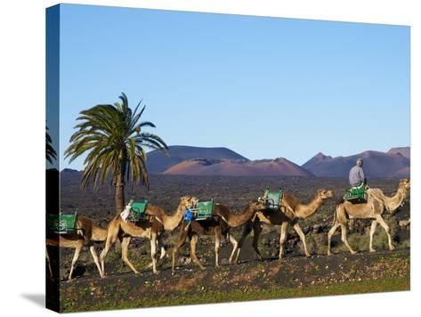Excursion By Camel to Visit Volcano, National Park of Timanfaya, Lanzarote, Canary Islands, Spain--Stretched Canvas Print