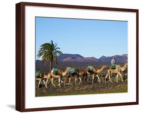 Excursion By Camel to Visit Volcano, National Park of Timanfaya, Lanzarote, Canary Islands, Spain--Framed Art Print