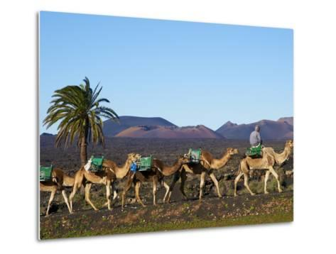 Excursion By Camel to Visit Volcano, National Park of Timanfaya, Lanzarote, Canary Islands, Spain--Metal Print