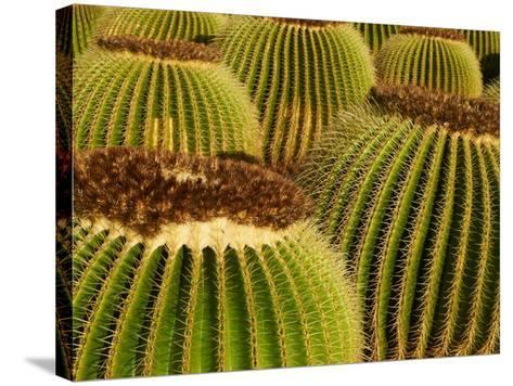 Cactus Garden of Guatiza, Lanzarote, Canary Islands, Spain, Europe--Stretched Canvas Print
