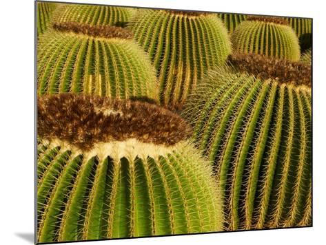 Cactus Garden of Guatiza, Lanzarote, Canary Islands, Spain, Europe--Mounted Photographic Print