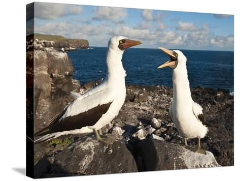 Nazca Booby (Sula Dactylatra), Suarez Point, Isla Espanola, Galapagos Islands, Ecuador-Michael DeFreitas-Stretched Canvas Print