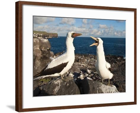 Nazca Booby (Sula Dactylatra), Suarez Point, Isla Espanola, Galapagos Islands, Ecuador-Michael DeFreitas-Framed Art Print