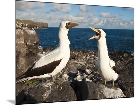 Nazca Booby (Sula Dactylatra), Suarez Point, Isla Espanola, Galapagos Islands, Ecuador-Michael DeFreitas-Mounted Photographic Print