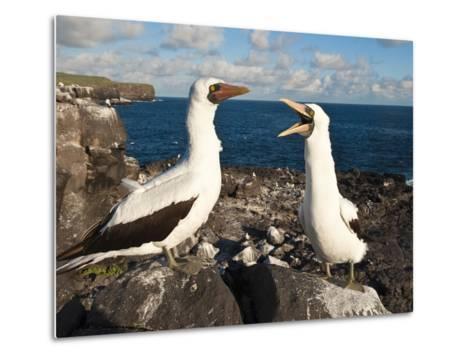 Nazca Booby (Sula Dactylatra), Suarez Point, Isla Espanola, Galapagos Islands, Ecuador-Michael DeFreitas-Metal Print