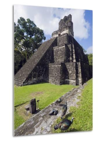 Turkeys at a Pyramid in the Mayan Ruins of Tikal, UNESCO World Heritage Site, Guatemala-Christian Kober-Metal Print