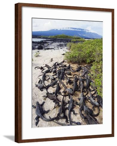Marine Iguanas (Amblyrhynchus Cristatus), Isla Isabela, Galapagos Islands, Ecuador-Christian Kober-Framed Art Print