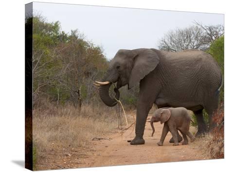 Elephant (Loxodonta Africana), Kapama Game Reserve, South Africa, Africa-Sergio Pitamitz-Stretched Canvas Print
