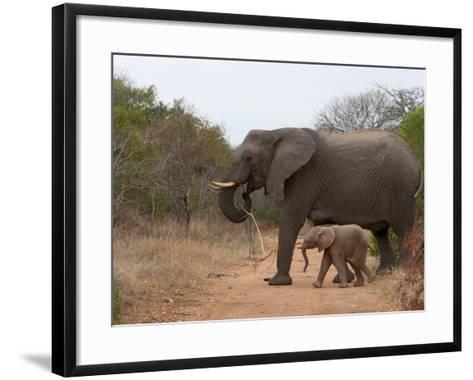 Elephant (Loxodonta Africana), Kapama Game Reserve, South Africa, Africa-Sergio Pitamitz-Framed Art Print