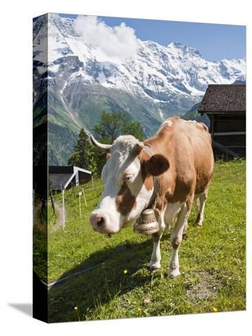 Jungfrau Massif and Cow Near Murren, Jungfrau Region, Switzerland, Europe-Michael DeFreitas-Stretched Canvas Print