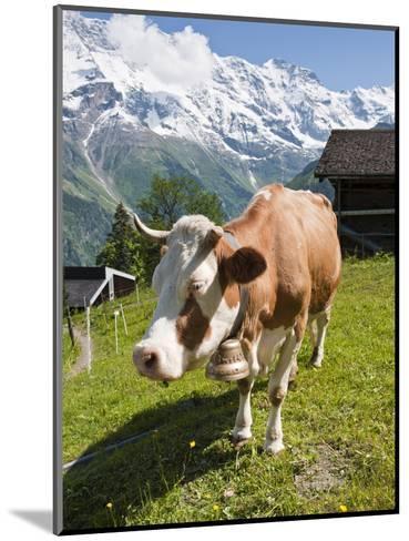 Jungfrau Massif and Cow Near Murren, Jungfrau Region, Switzerland, Europe-Michael DeFreitas-Mounted Photographic Print